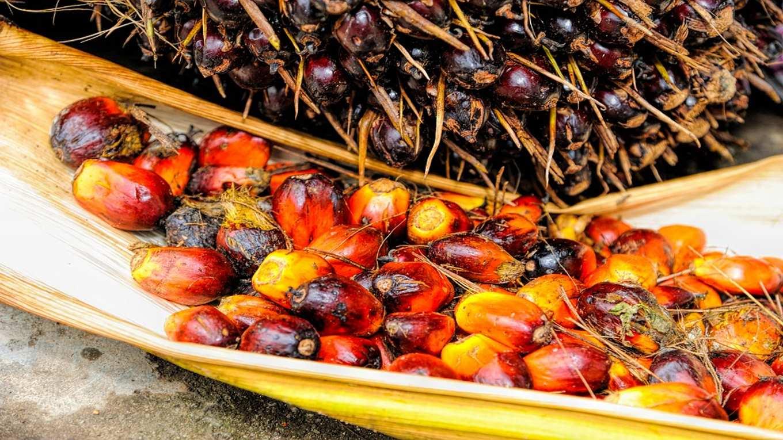 L'olio di Palma fa male davvero?