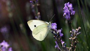 La leggenda della Farfalla Bianca